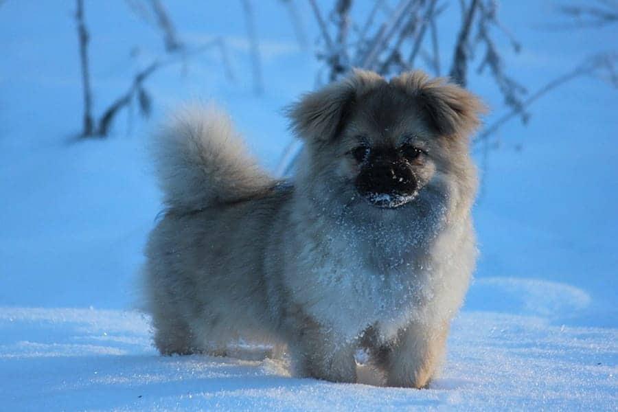 Tibetan Spaniel - Chinese Dog Breeds