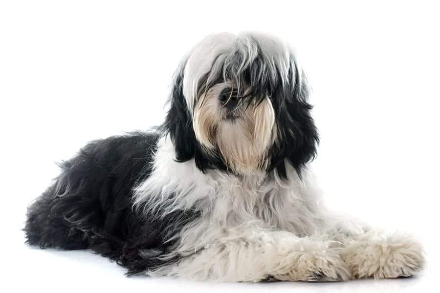 Tibetan Terrier - Chinese Dog Breeds