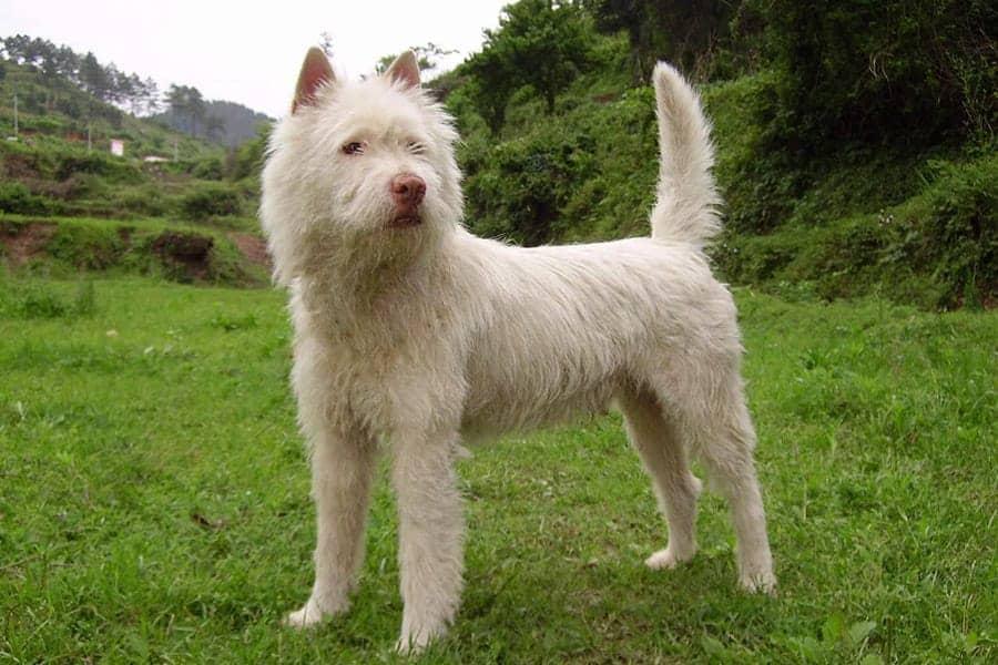 Xiasi Quan - Chinese Dog Breeds