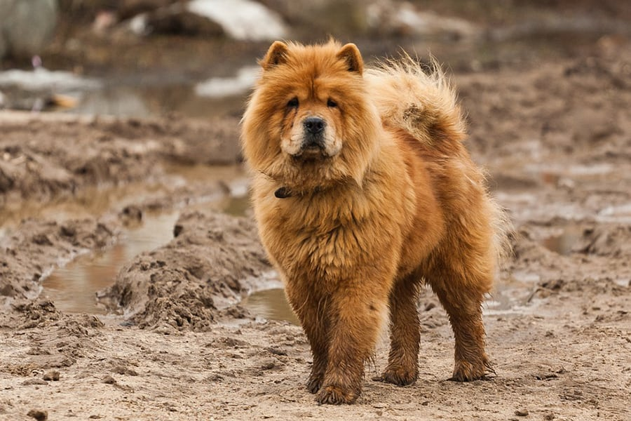 Chinese Dog Breeds - Chow Chow