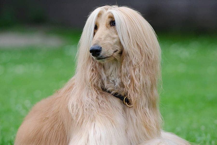 Fastest dog breeds - Afghan Hound