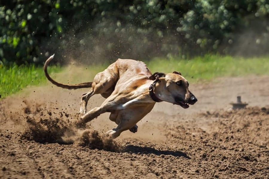 Fastest dog breeds - greyhound