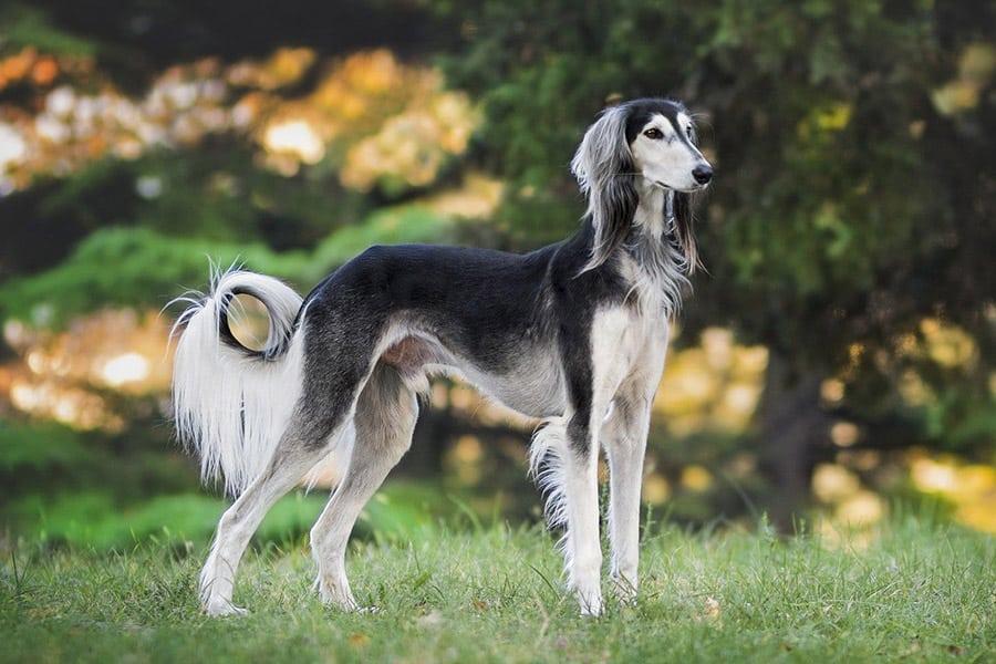 Fastest dog breeds - Saluki