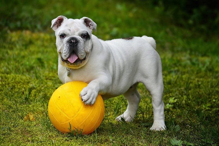Quiet dog breeds - Bulldog