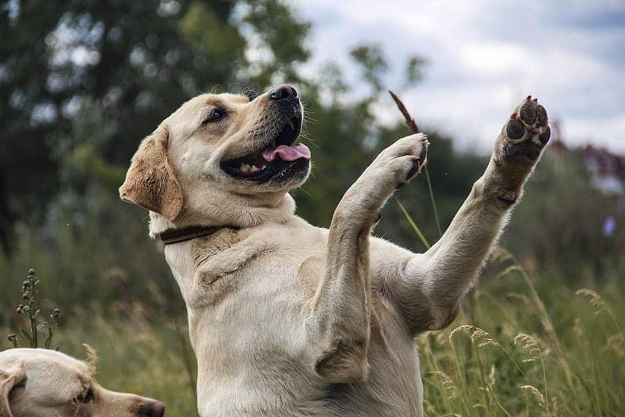 Friendliest Dog Breeds - Labrador