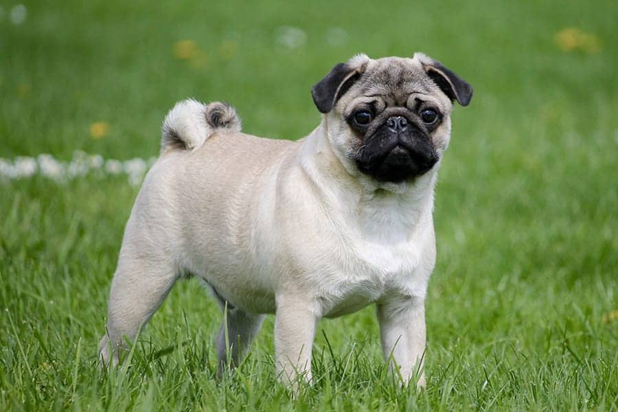 pug names - pug in grass