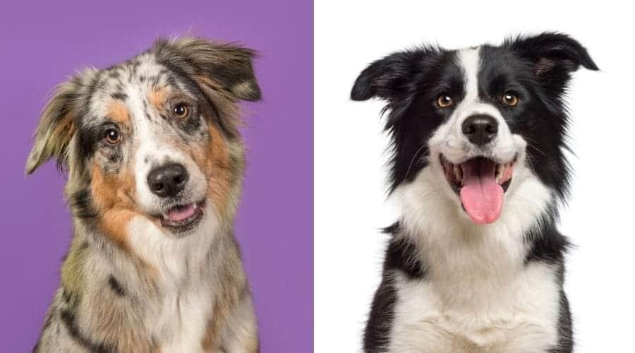 Australian Shepherd vs Border Collie