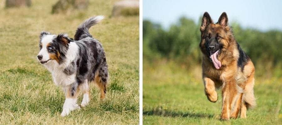 Australian Shepherd vs German Shepherd dogs