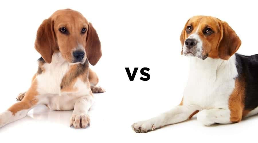 Harrier vs Beagle