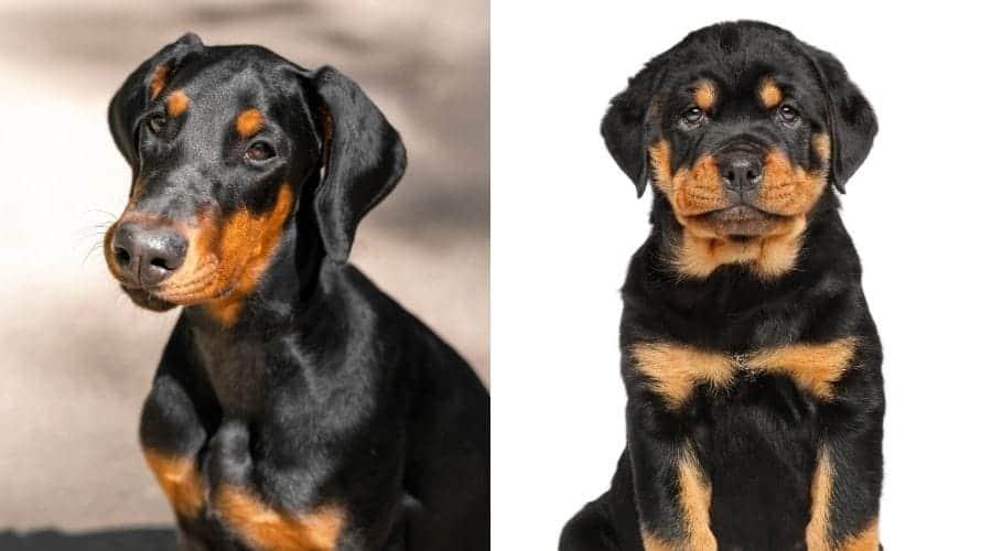 doberman and rottweiler puppies