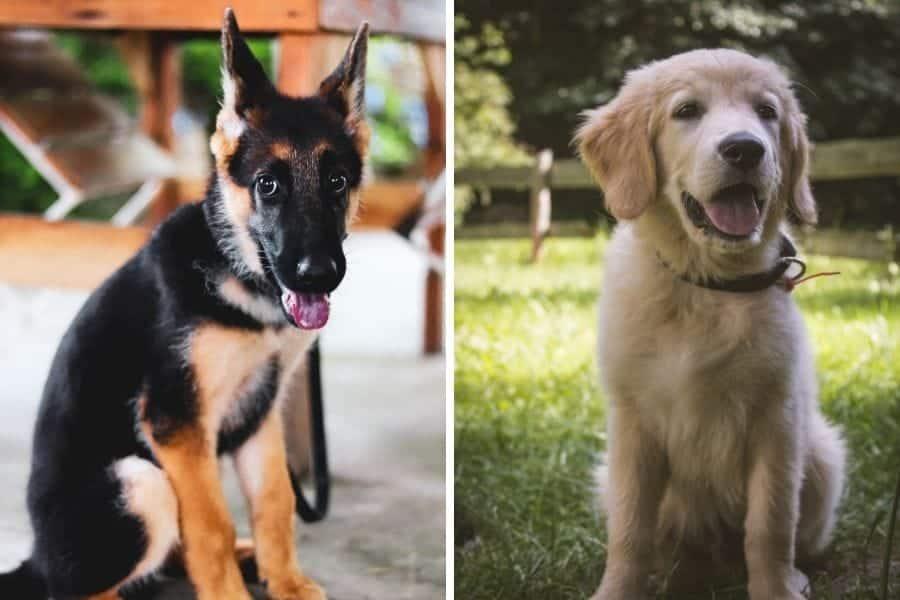 German Shepherd puppy and Golden Retriever puppy