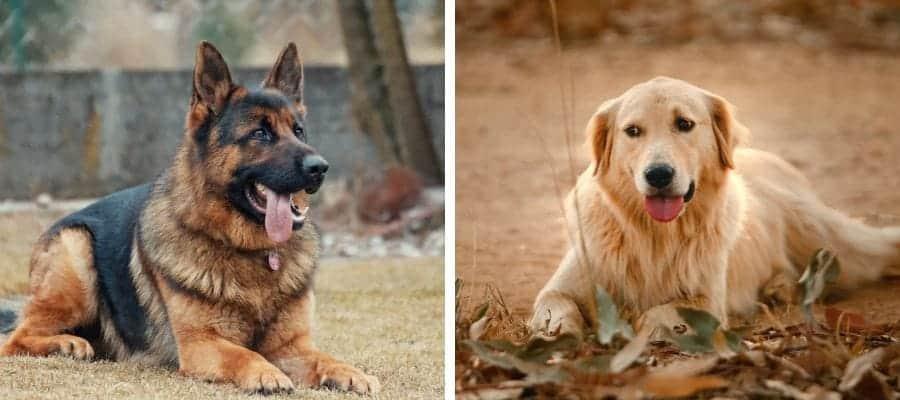 German Shepherd vs Golden Retriever