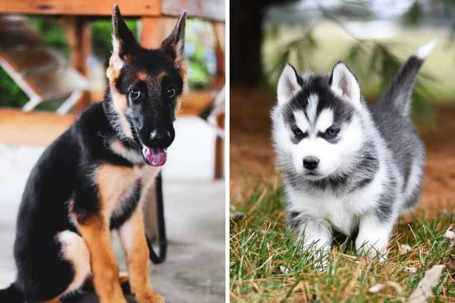 German Shepherd puppy and Husky puppy