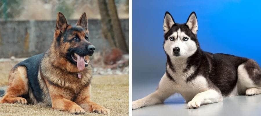 German Shepherd vs Husky
