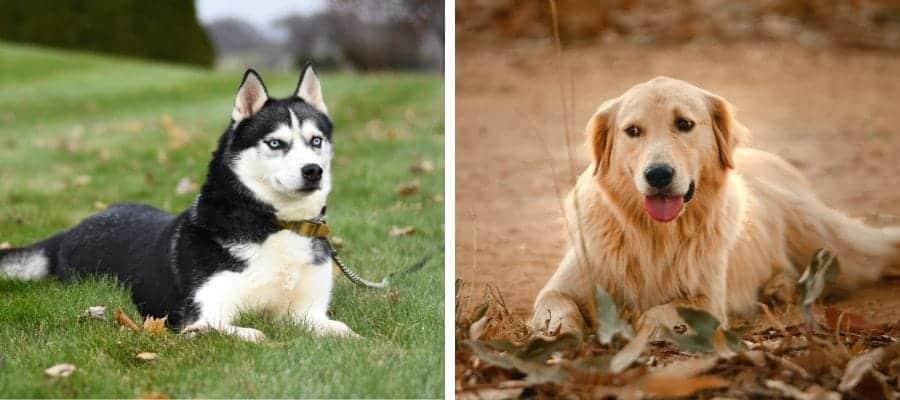 Australian Shepherd vs Golden Retriever