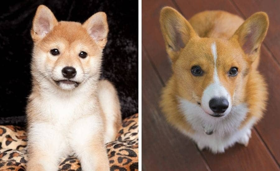 Shiba Inu puppy and Corgi puppy