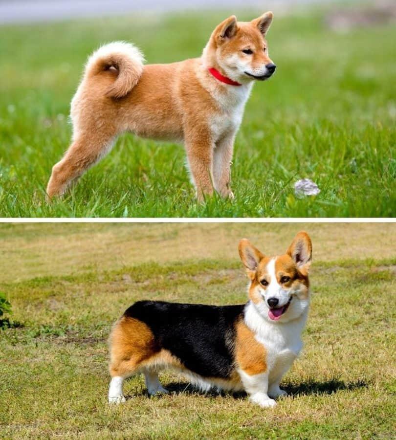 Dog comparison