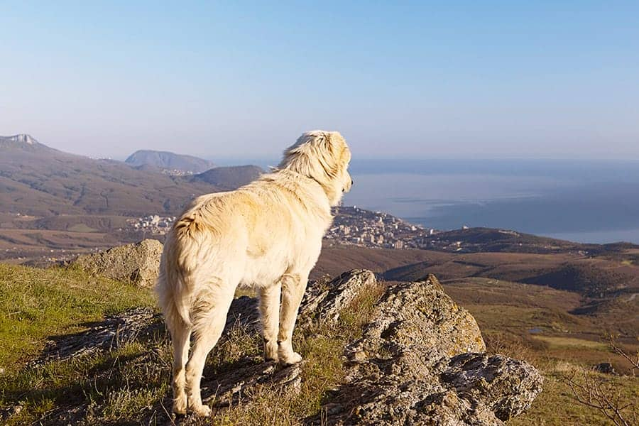 dog looking over mountains