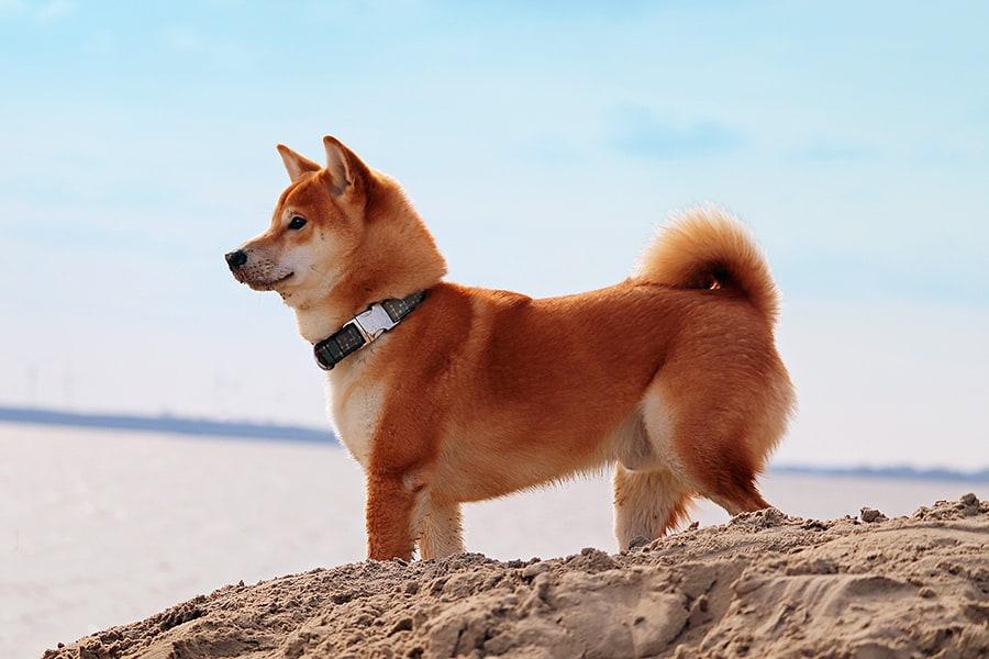 Quiet dog breeds - Shiba Inu
