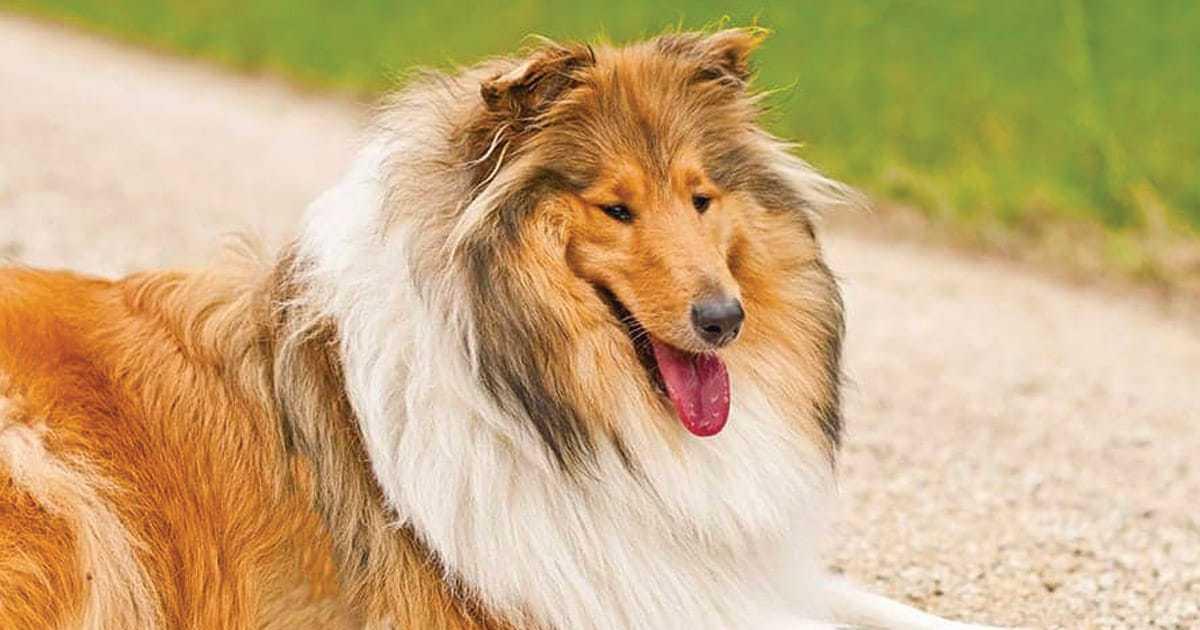 quiet collie dog