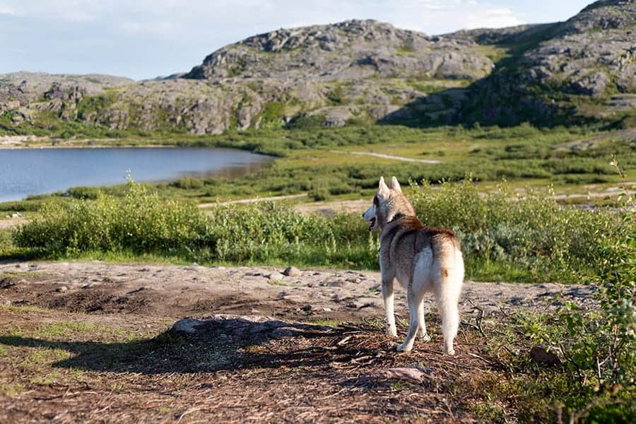 Viking names for dogs - husky in mountains