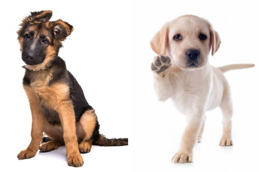 german shepherd & lab puppies