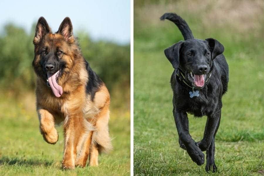 german shepherd and black lab running