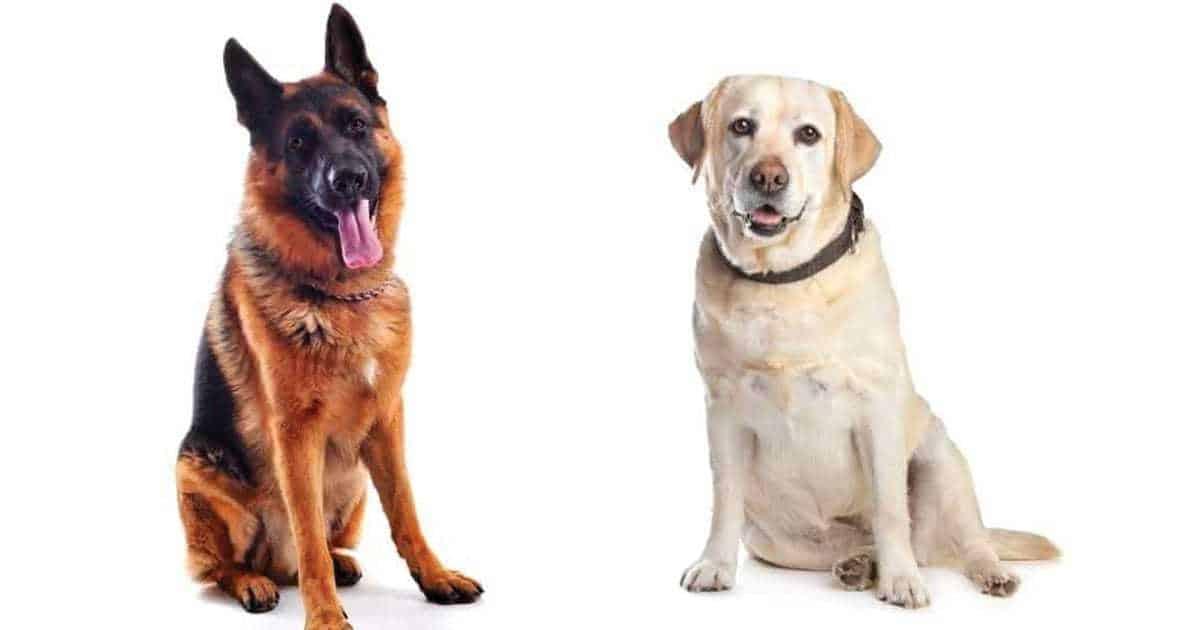 lab vs german shepherd