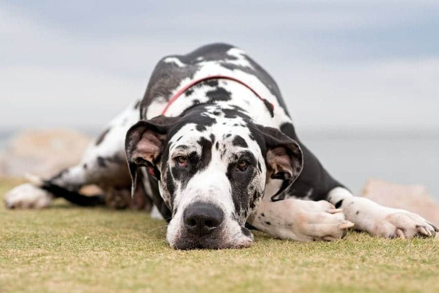 black and white spotted great dane