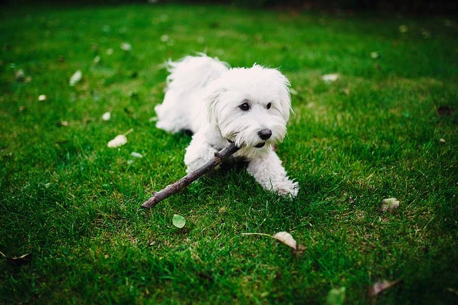 maltese in grass chewing stick