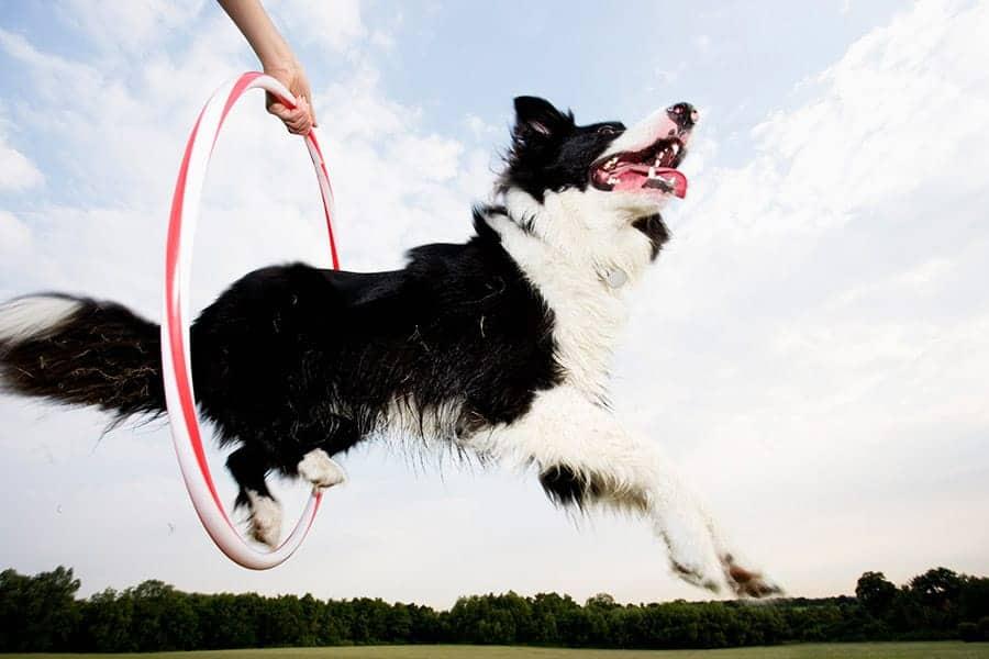 dog tricks - dog jumping through hoop