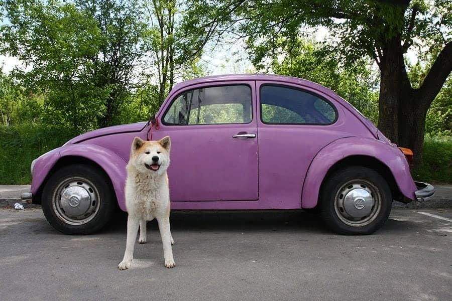Perro con coche de insectos Volkswagen