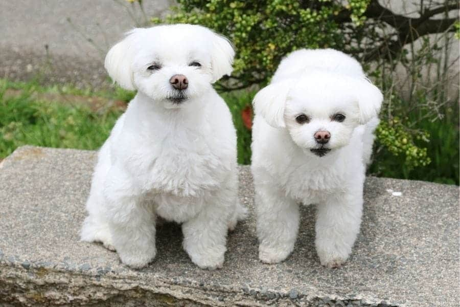 small white puppies